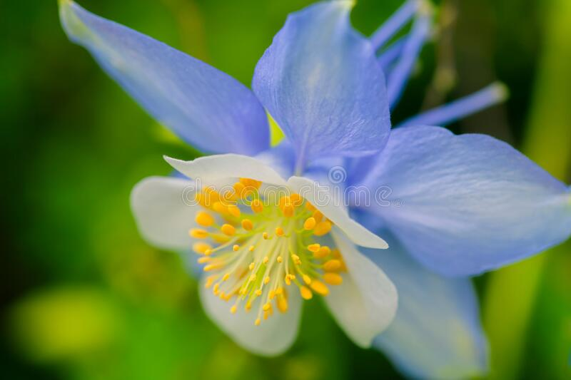 Columbine flower with soft light. Macro closeup blue columbine flower blooming with shallow depth of focus, image is Elegant and beautiful in green background stock photo