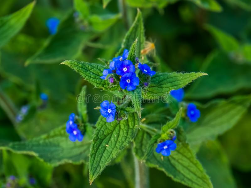 Macro closeup of a borage plant with blooming blue flowers, garden and wild flower from Europe, nature background royalty free stock image