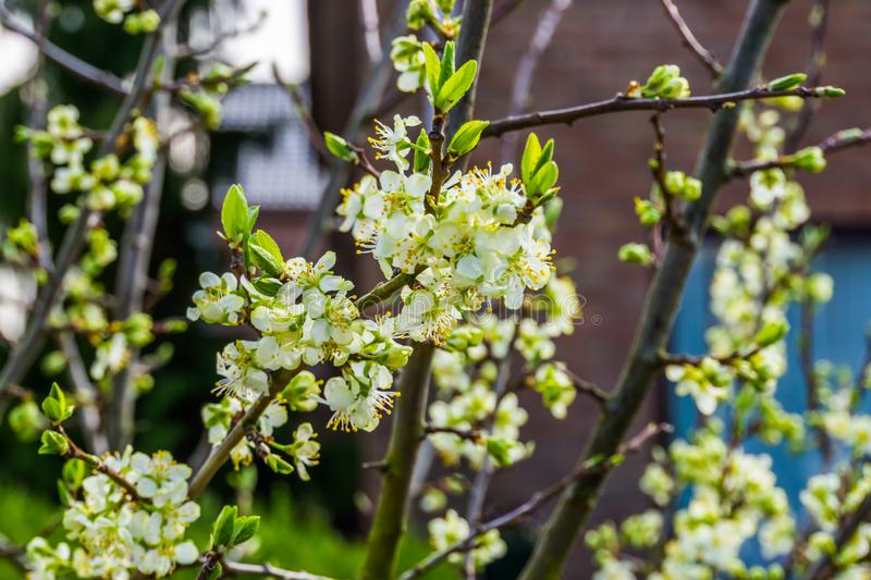 Macro closeup of a branch filled with white flowers, organic fruit tree during spring season. A macro closeup of a branch filled with white flowers, organic royalty free stock image