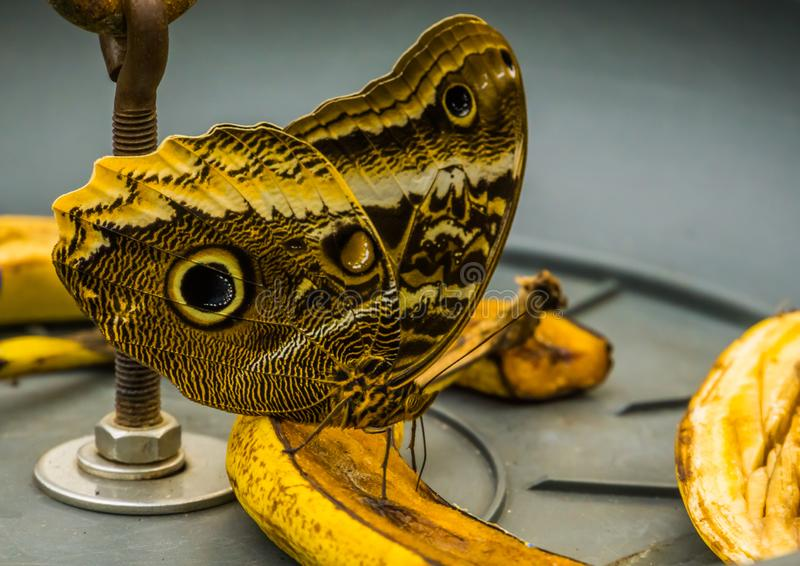Macro closeup of a forest giant owl butterfly sitting on a banana, tropical and colorful insect from America, popular pet in. A macro closeup of a forest giant royalty free stock images