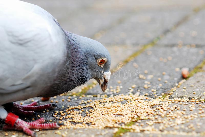 Macro closeup grey pigeon head and shoulders standing royalty free stock photos