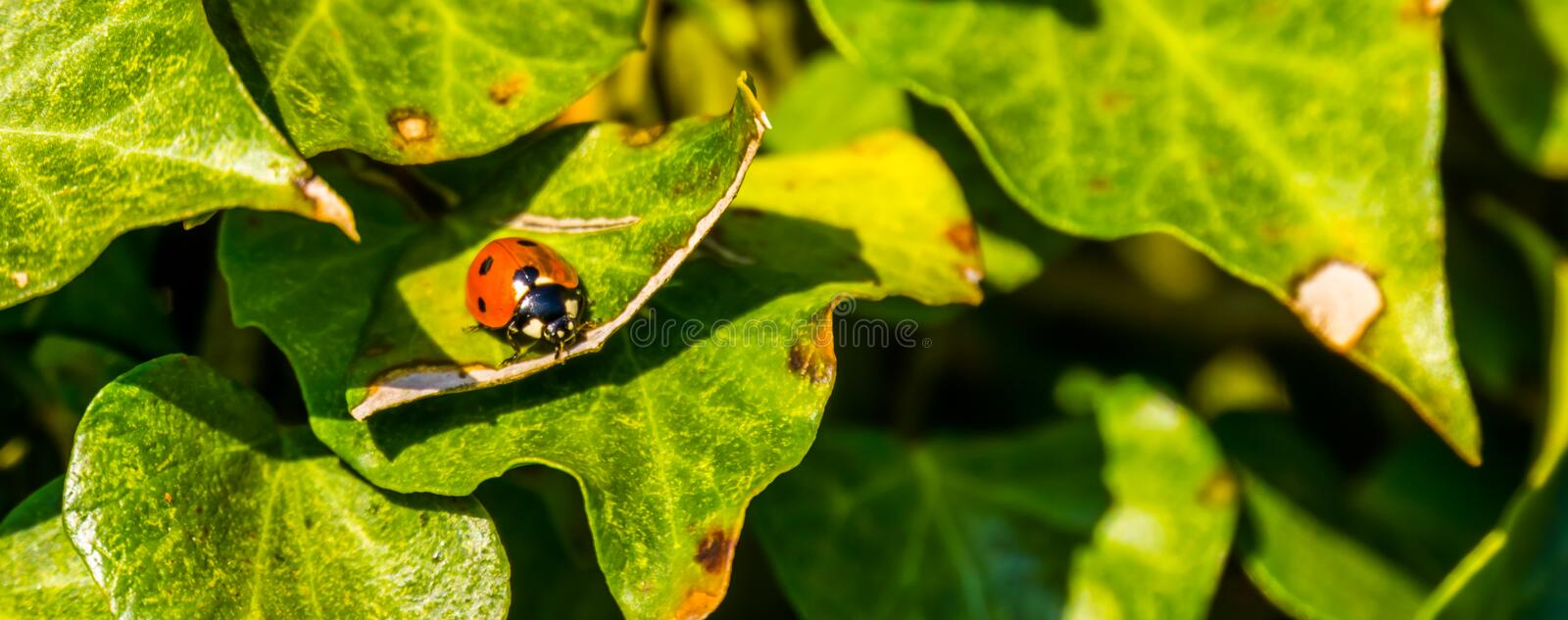 Macro closeup of a lady beetle bug with orange wings and black spots, common insect of europe. A macro closeup of a lady beetle bug with orange wings and black royalty free stock photo