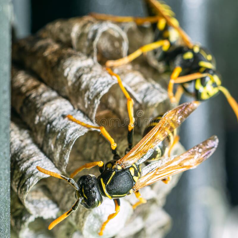 Free Macro Closeup Of A Wasps` Nest With The Wasps Sitting And Protecting The Nest Royalty Free Stock Photography - 192287987