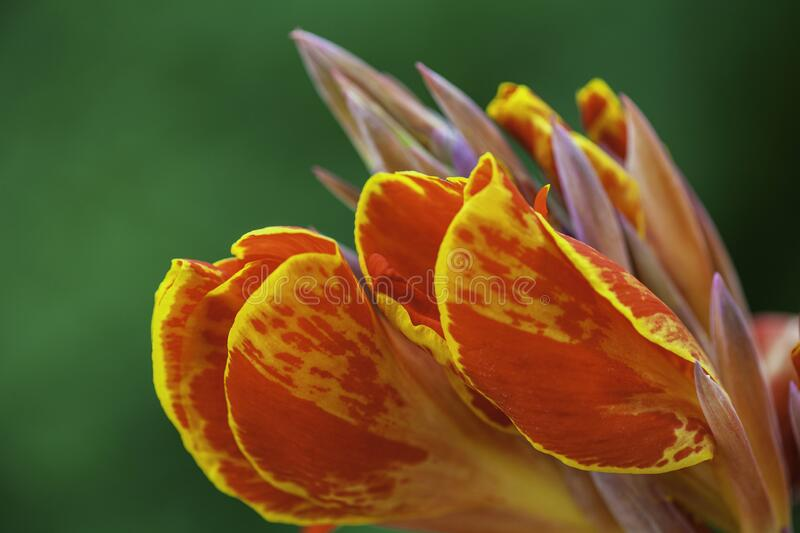 A macro closeup orange canna lily flower. With golden edge and orange dots in the background of deep green royalty free stock photos