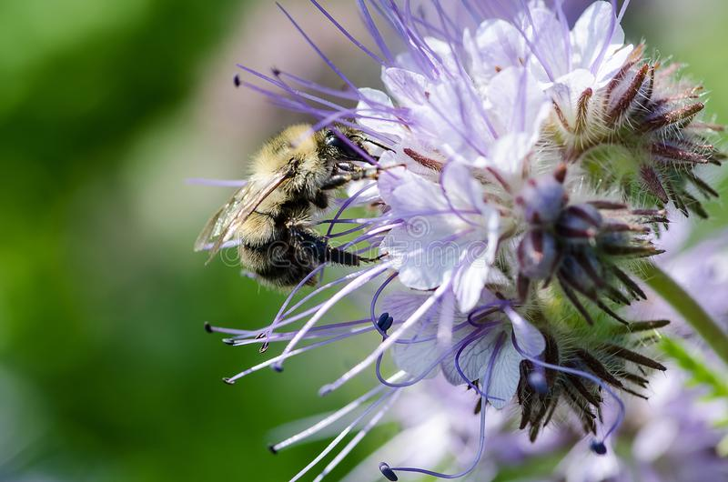 Macro closeup of a ornamental blue lavender clustered flower of Phacelia annual cultivated as honey nectar rich bee plant used in royalty free stock photos