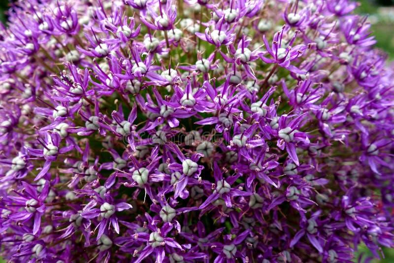 Macro Closeup of Purple Allium Flower royalty free stock photos