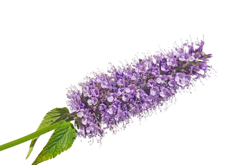 Purple pink blue flower cluster bloom of Agastache garden herb licorice liquorice  isolated on white stock image