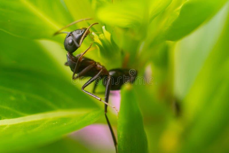 Macro Closeup shot of a Godzilla ant. Closeup shot of a Godzilla ant with bokeh and green algae in the backdrop stock photo