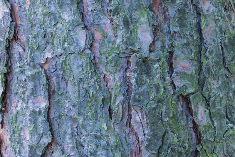 The macro or closeup shot of the pine, spruce or fir bark trunk texture stock images