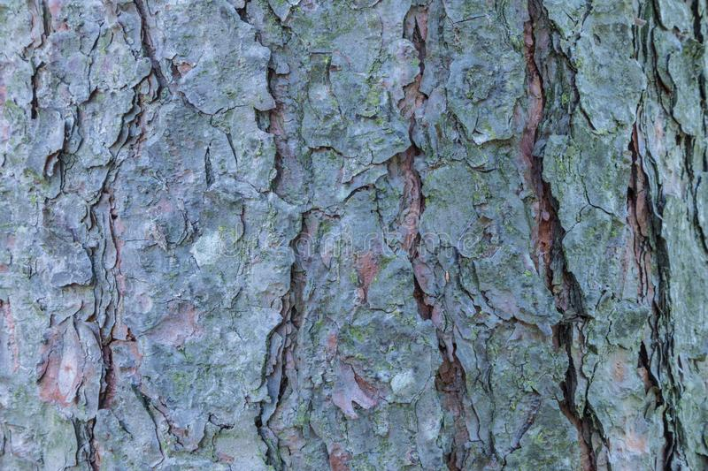 The macro or closeup shot of the pine, spruce or fir bark trunk texture royalty free stock image