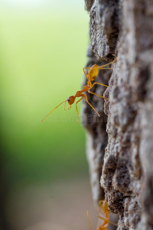 Macro closeup shot of a weaver ant on tree stock image