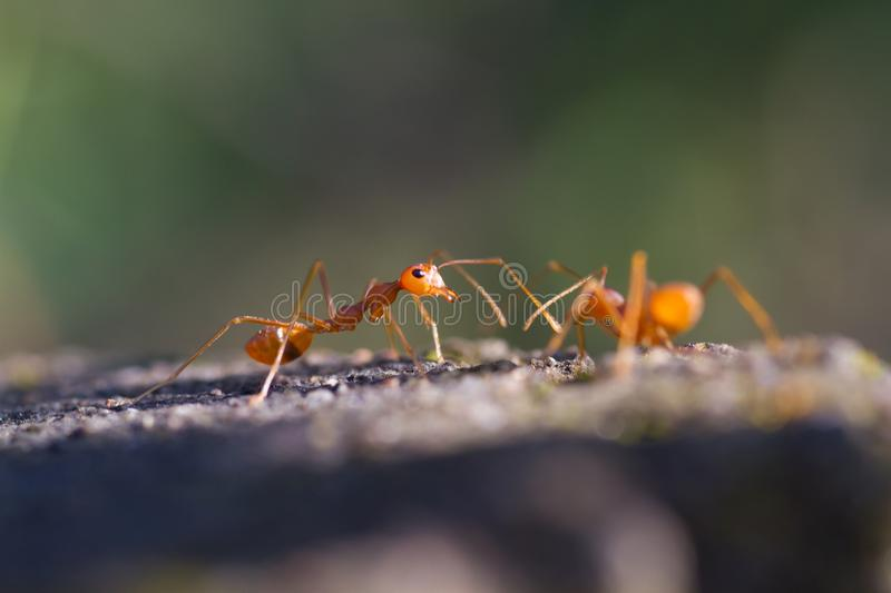 Macro Closeup shot of a weaver ants royalty free stock photo