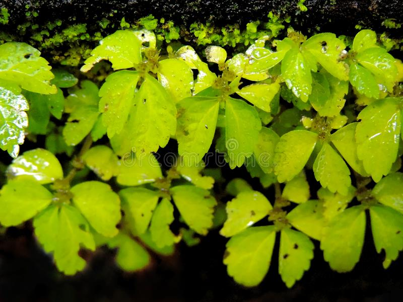 macro closeup of small vibrant green plant growth on dark walls in the rains with moist wet leaves with water droplets and moss gr royalty free stock photo