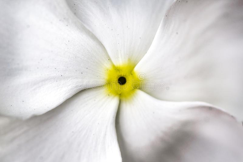 Macro closeup view of white flower petals with strong yellow center royalty free stock photo