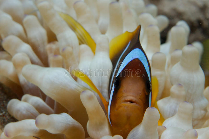 Macro of Clownfish. A macro shot of a clownfish in the Red Sea, Dahab, Egypt. They are living in anemones stock photo