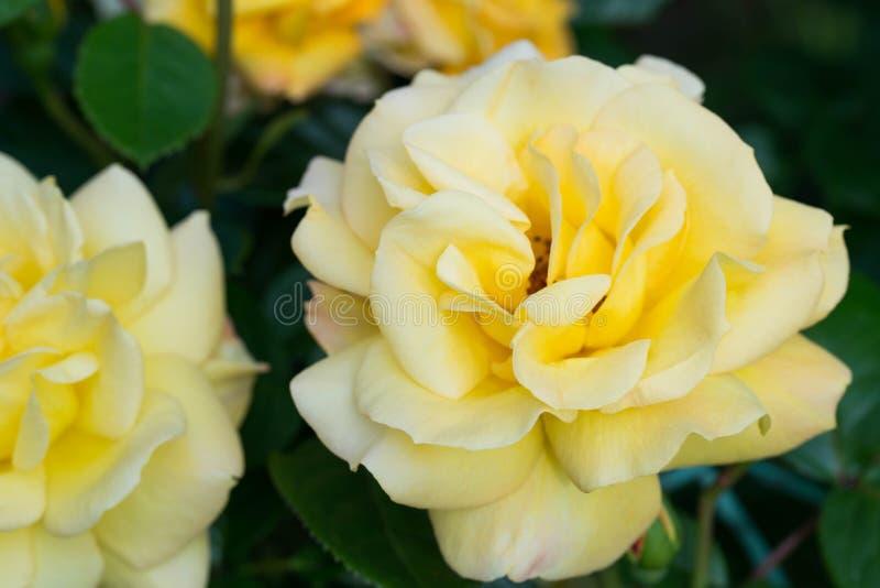 Macro color de rosa amarilla de la flor fotos de archivo