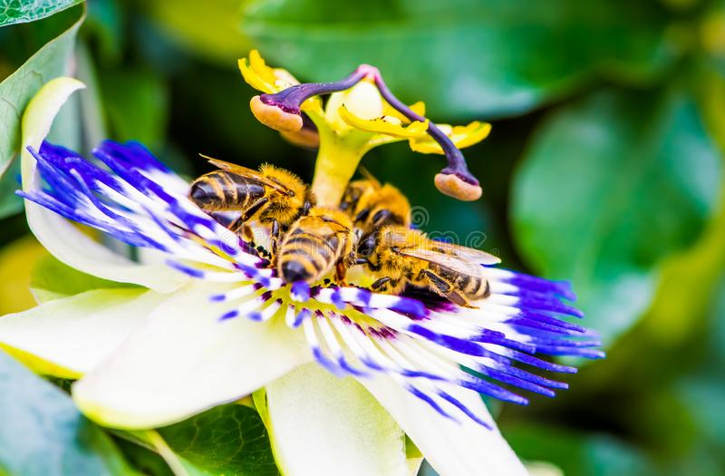 Macro color photo of passiflora caerulea with a group of bees on it. Four bees on common passion flower, macro color photo of passiflora caerulea stock photo