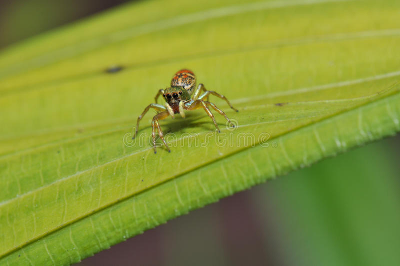 Macro of colorful jumping spider royalty free stock photos