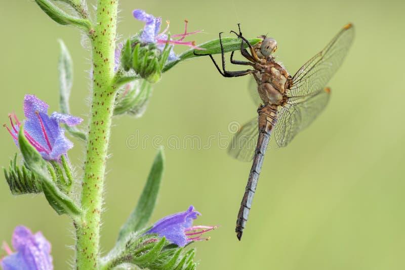 Macro colpo dei coerulescens di Orthetrum della scrematrice di Keeled della libellula sull'erba fotografia stock libera da diritti