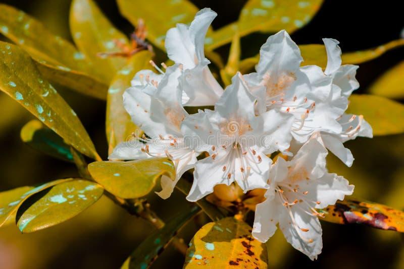 Macro colpo dei fiori bianchi che fioriscono su un cespuglio nei giardini giapponesi a Grand Rapids Michigan immagine stock libera da diritti