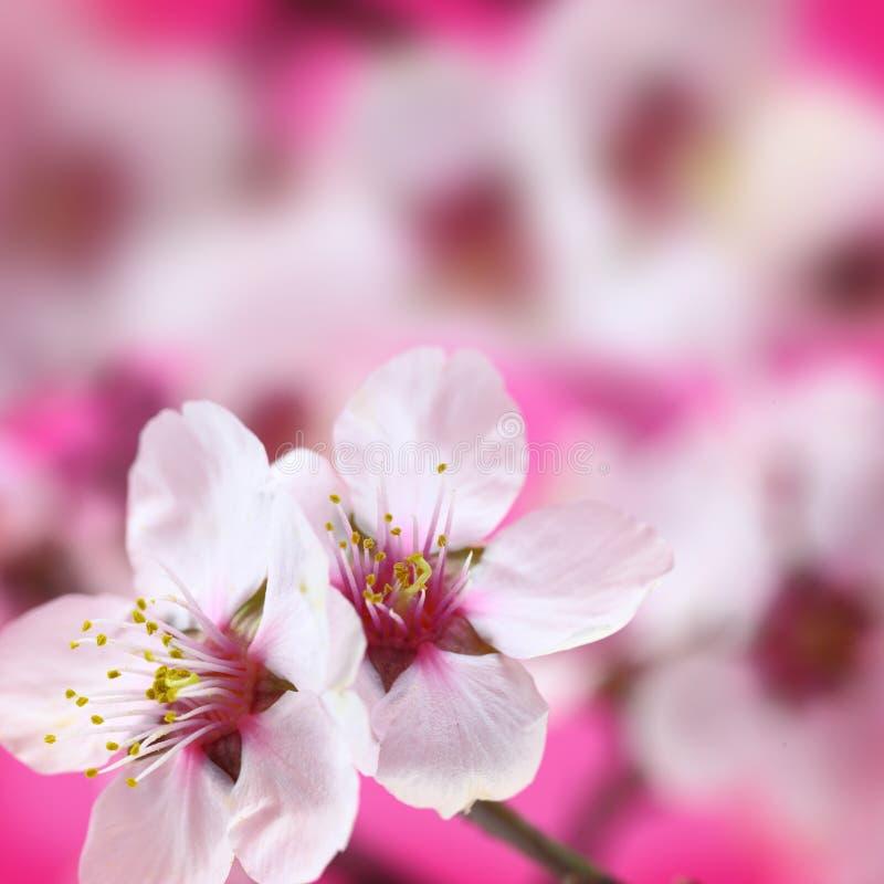 Macro colpo dei fiori della mandorla fotografia stock
