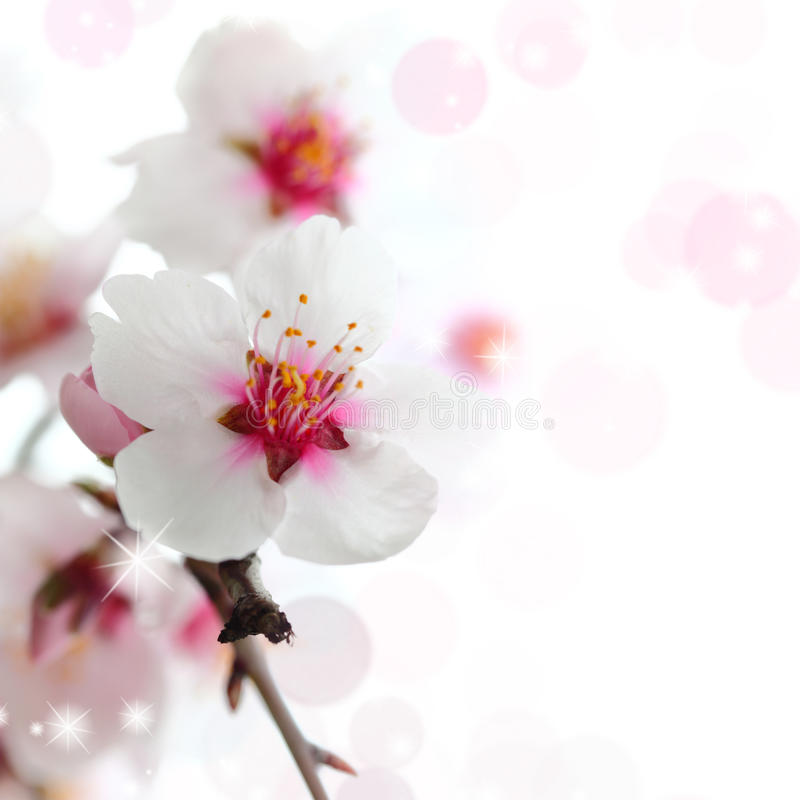 Macro colpo dei fiori della mandorla immagini stock