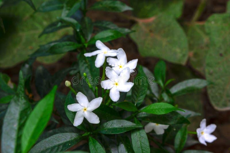 Macro colpo dei fiori di divaricata del Tabernaemontana con gli ambiti di provenienza verdi fotografie stock