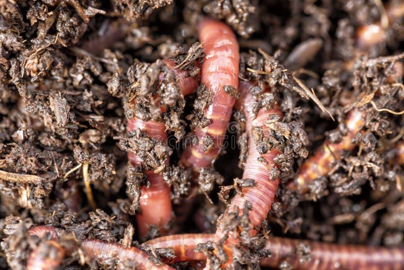 Macro colpo dei vermi rossi Dendrobena in concime, esca viva del lombrico per pescare immagini stock libere da diritti