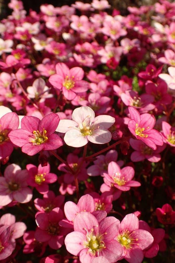 Macro colpo del ` del cuscino dell'argento del ` della sassifraga, con i fiori in piena fioritura in un rockery immagini stock libere da diritti