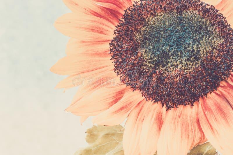 Macro colpo del girasole di fioritura fotografia stock libera da diritti