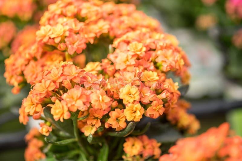 Macro colpo del kalanchoe blossfeldiana o dei fiori ardenti di Katy fotografie stock