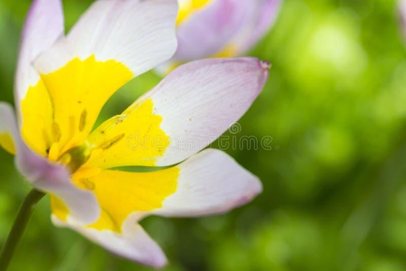 Macro colpo del primo piano del colpo classico di Selectives dei tulipani contro fondo vago fotografia stock libera da diritti