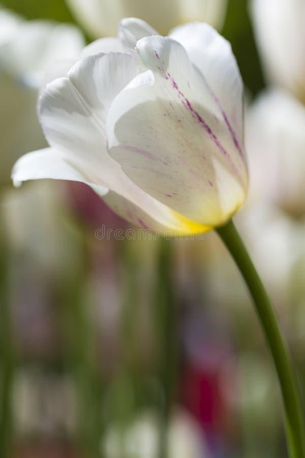 Macro colpo del primo piano dei tulipani olandesi nazionali del colpo selezionato di specie contro fondo vago fotografie stock libere da diritti