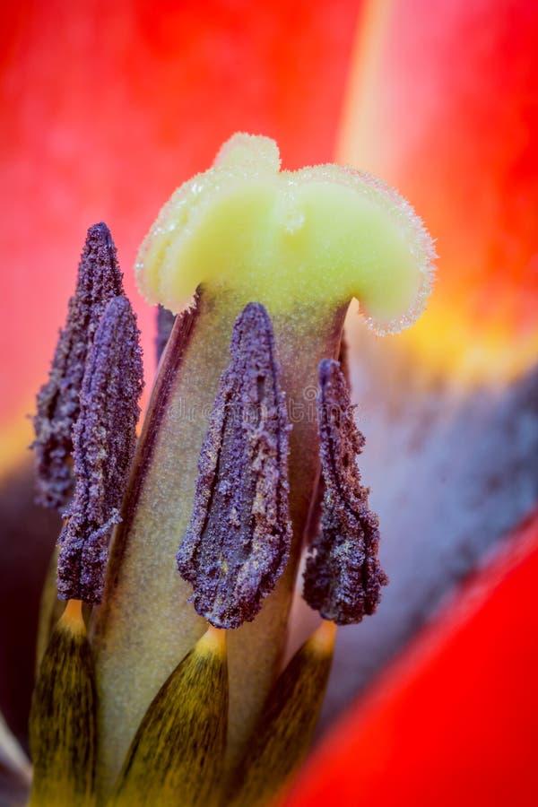 Macro colpo del primo piano del tulipano fotografia stock