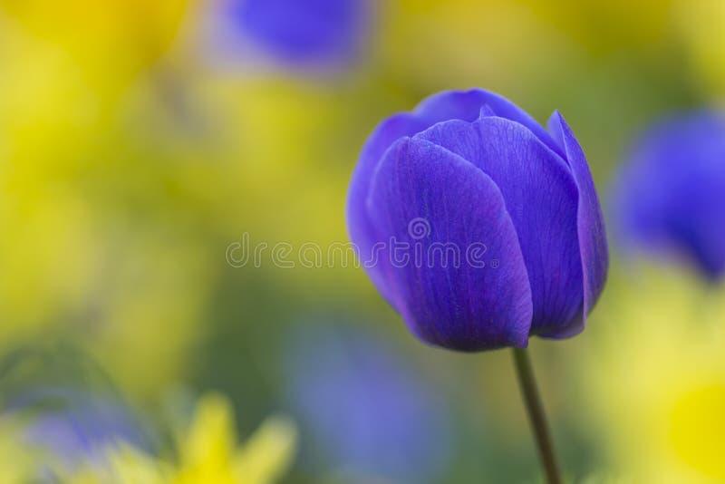 Macro colpo del primo piano di olandese nazionale Holland Tulips Of The Selectives fotografia stock