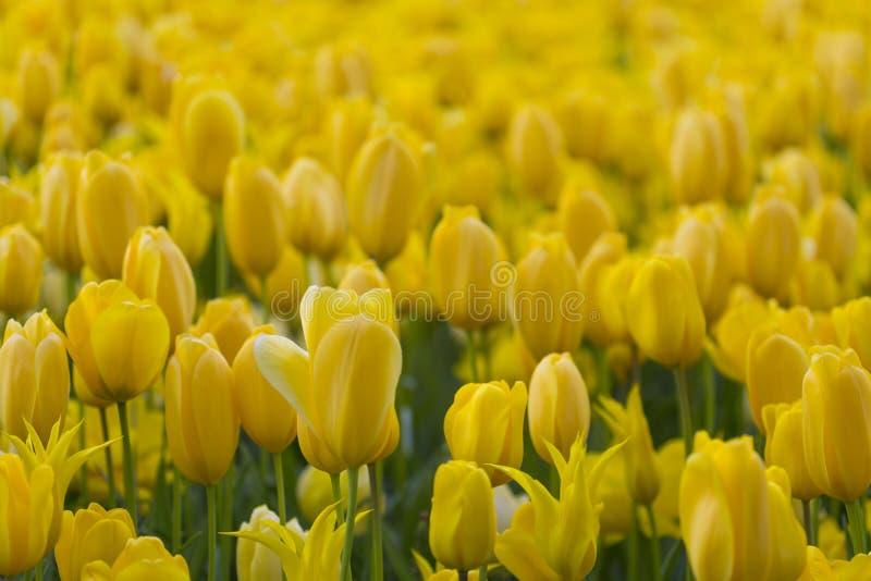 Macro colpo del primo piano del colpo nazionale di Holland Tulips Of The Selectives dell'olandese contro fondo vago immagine stock