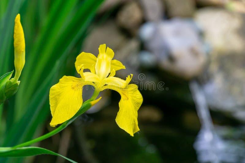 Macro colpo della bandiera gialla del fiore di pseudacorus giallo dell'iride, giglio giallo vicino al bello stagno con la fontana fotografia stock libera da diritti
