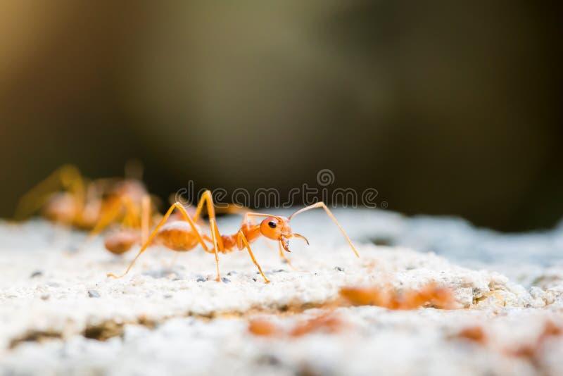 Macro colpo della formica rossa in natura con il fuoco selettivo fotografia stock libera da diritti