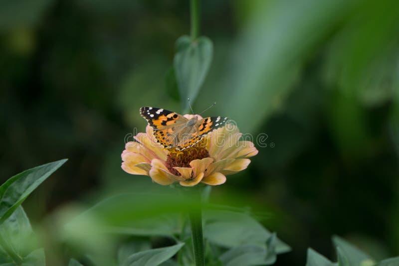 Macro colpo di bella farfalla su un pallido - fiore rosa immagini stock