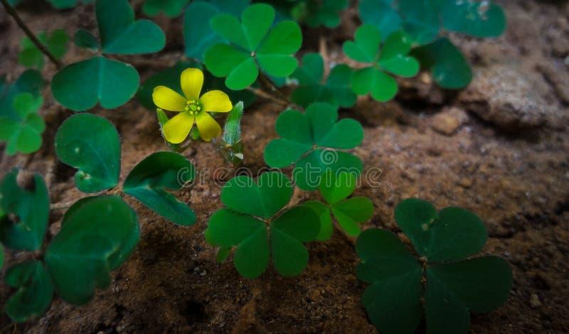 Macro colpo di piccolo fiore giallo, fiore fortunato della pianta fotografia stock libera da diritti