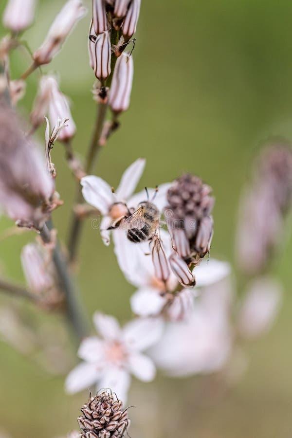 Macro colpo di un'ape fotografia stock libera da diritti