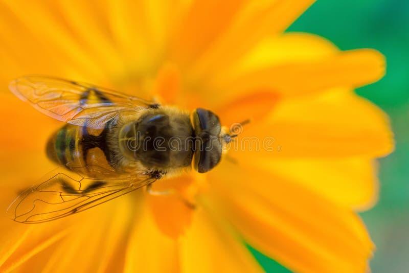 Macro colpo di un'ape che si siede sul fiore giallo fotografia stock
