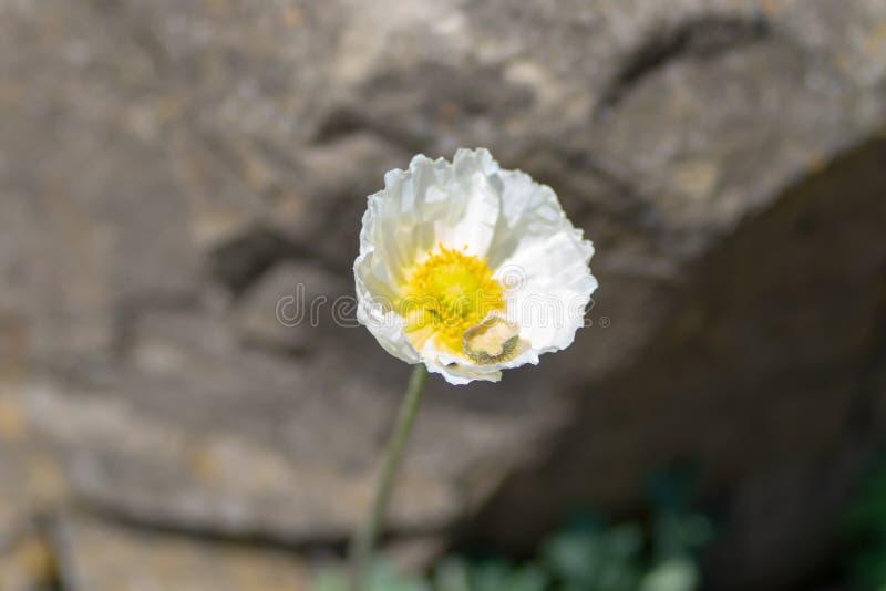 Macro colpo di un fiore bianco su uno sfondo naturale in un fuoco molle fotografie stock