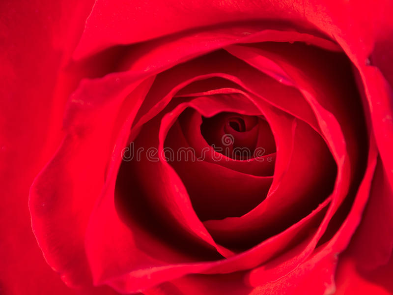 Macro colpo di una rosa rossa fotografia stock