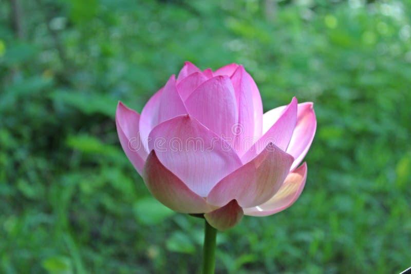 Macro colpo sul fiore di loto rosa Fuoco molle fotografie stock