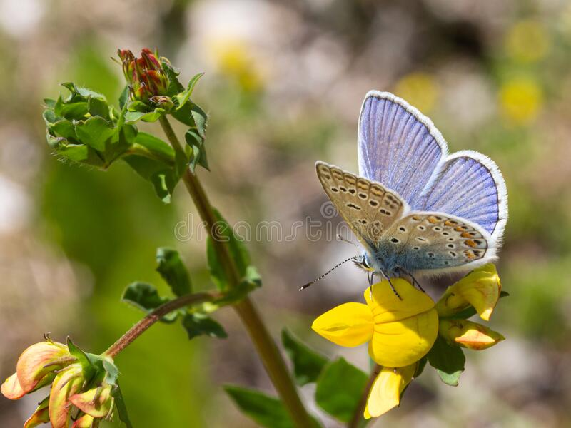 Macro of a common blue polyommatus icarus butterfly on a lotus corniculatus blossom with blurred bokeh background. Pesticide free environmental protection stock images