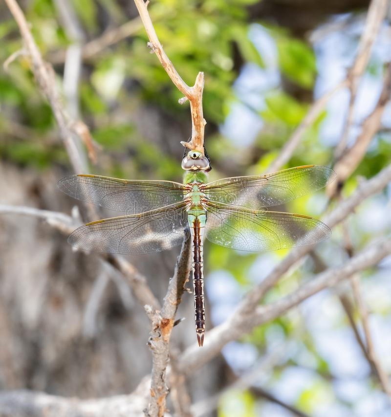 Macro of a Common Green Darner Anax junius Hanging from a Tree Branch. During Migration in Eastern Colorado royalty free stock image