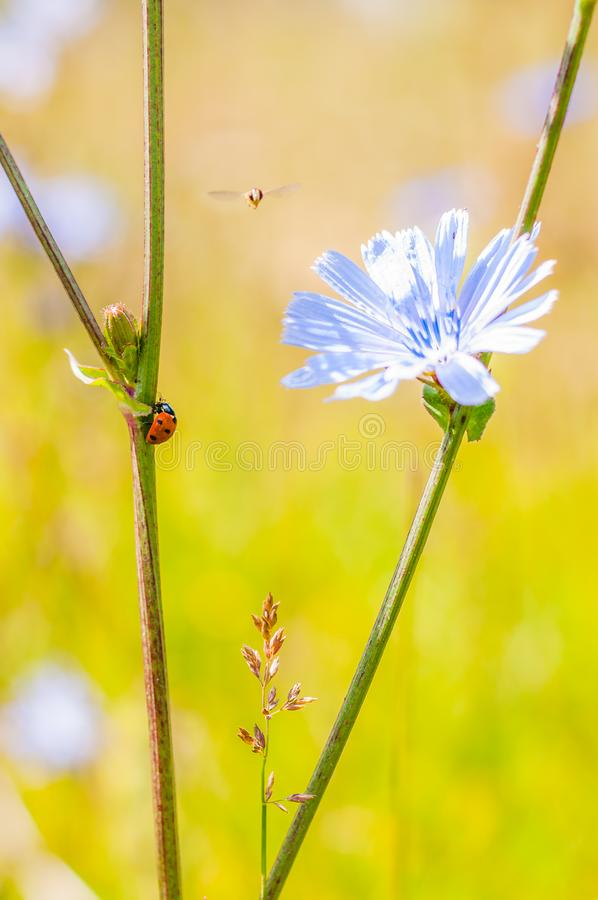 Macro composition of red black ladybug crawling on stem, small Hoverfly flying near the blooming blue Cichorium flower stock image