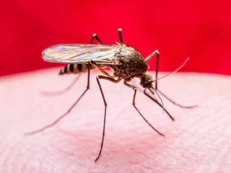Macro contaminado vírus do inseto da febre amarela, da malária ou do mosquito de Zika no fundo vermelho fotos de stock royalty free