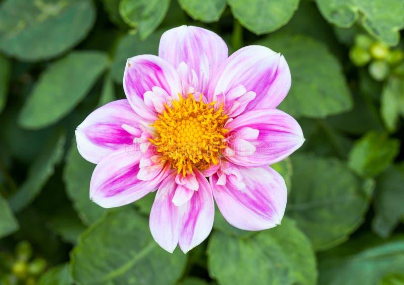 Macro cor-de-rosa da flor da dália fotografia de stock